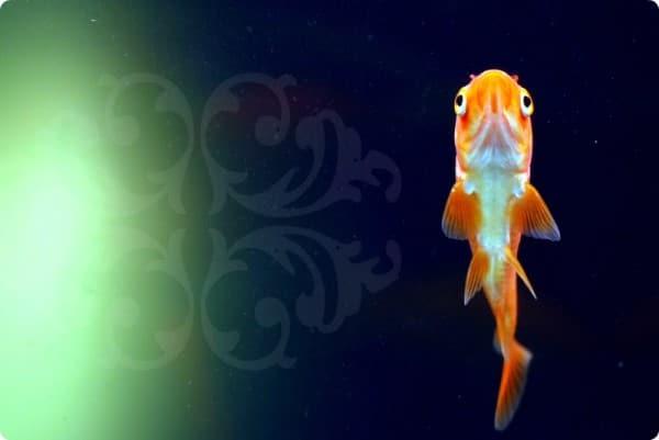 Pececillo del acuario de Pascuale