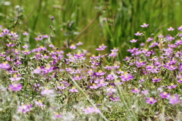 Las flores del campo